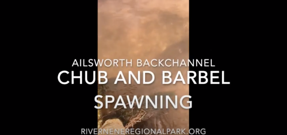Resilient River: Ailsworth Chub & Barbel Spawning May 2020